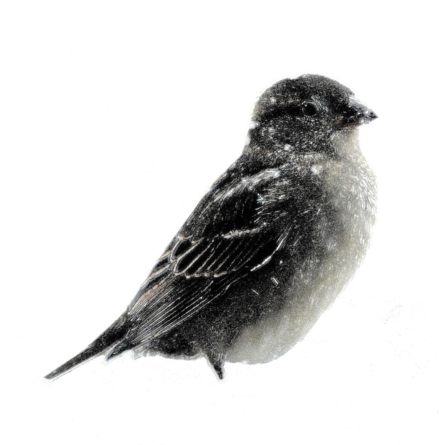 -  Panasonic DMC-FZ18 - Small bird in the snow in the manner of a mezzotint. - Tony Karp, design, art, photography, techno-impressionist, techno-impressionism, aerial photography , drone , drones , dji , mavic pro , video , 3D printing - Books -
