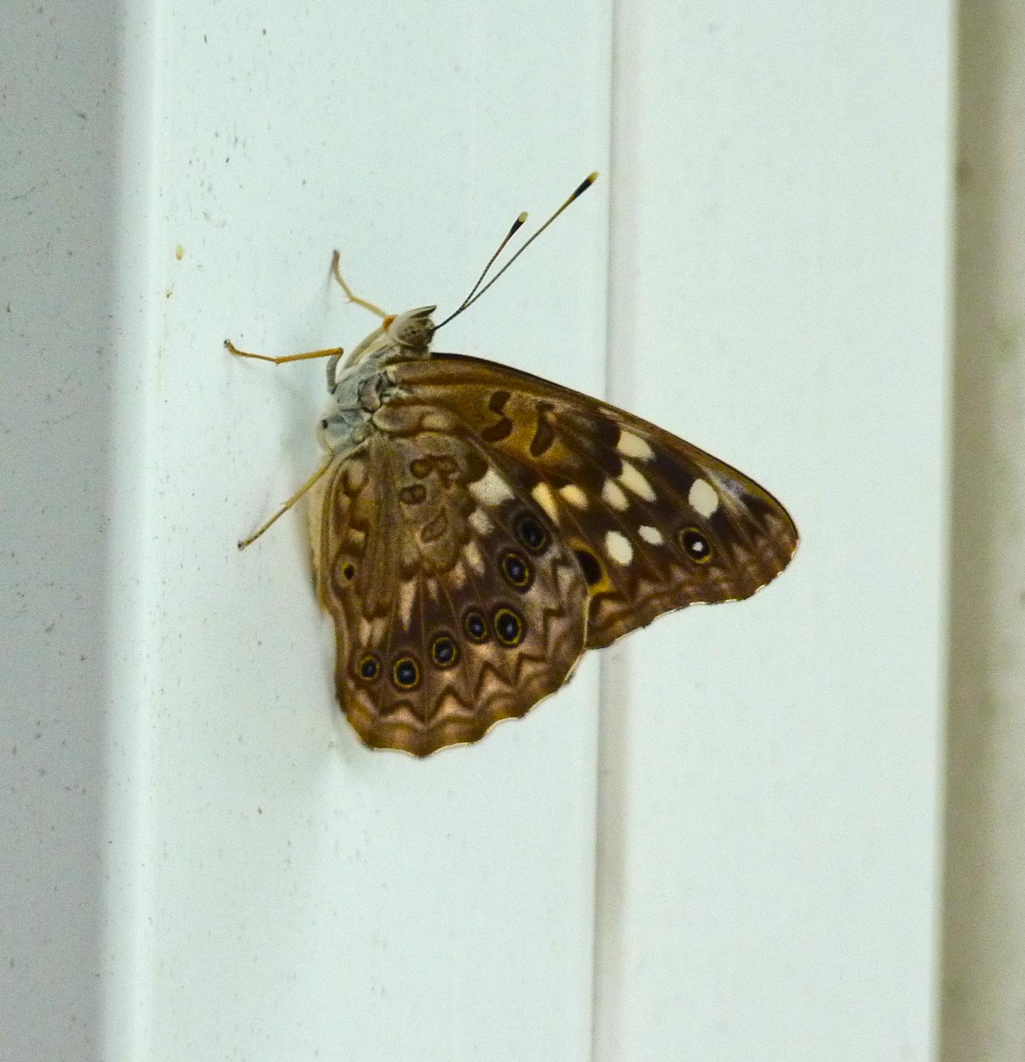 - A Hackberry Emperor (Asterocampa celtis) butterfly on our porch. - Panasonic DMC-FZ35 - Tony Karp, design, art, photography, techno-impressionist, techno-impressionism, aerial photography , drone , drones , dji , mavic pro , video , 3D printing - Books -
