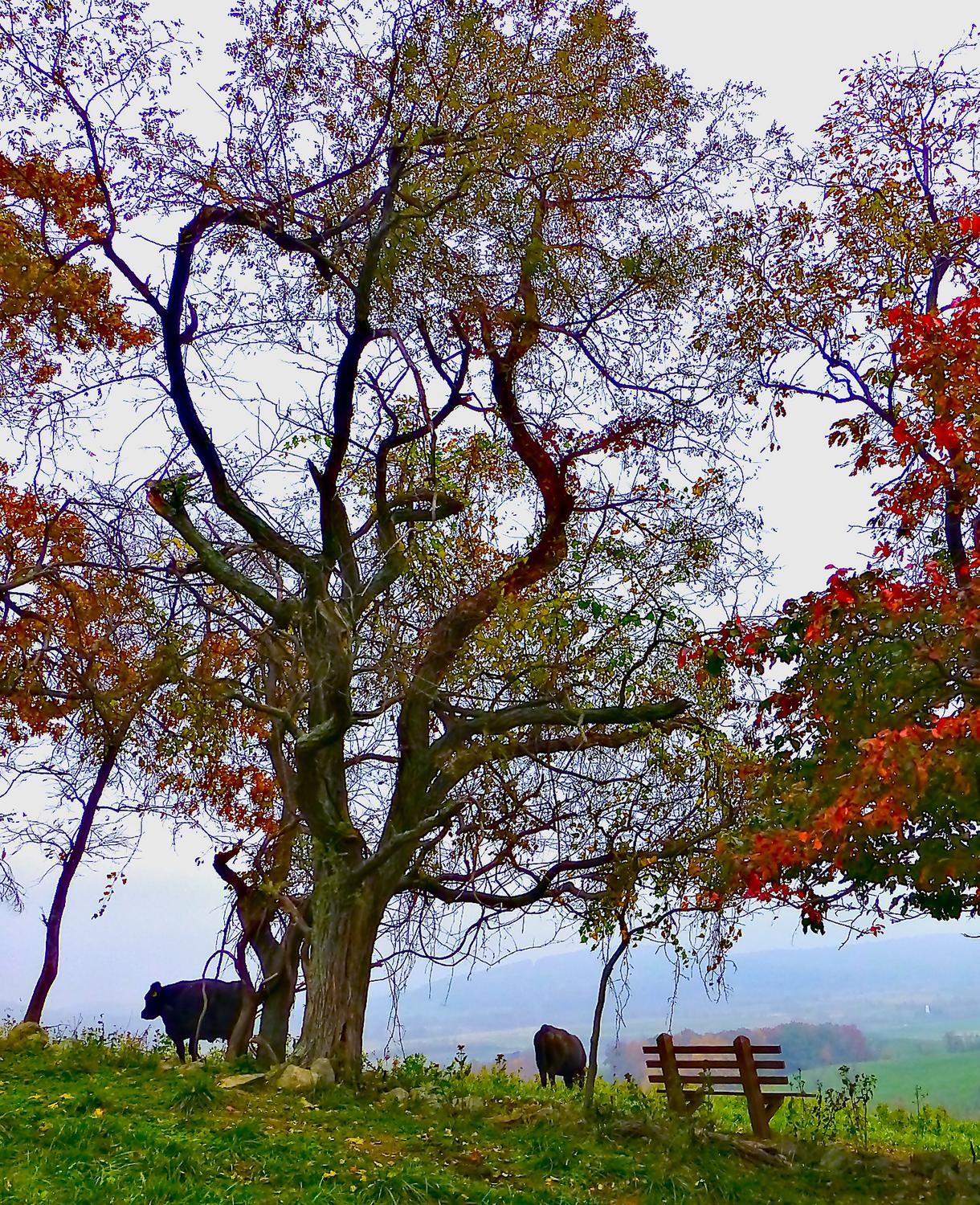- Halfway up the hill, there's a bench where you can sit to enjoy the view <br>--- Click to see ORIGINAL --- - Sky Meadows State park - Virginia - Cows - Panasonic DMC-ZS20 - Tony Karp, design, art, photography, techno-impressionist, techno-impressionism, aerial photography , drone , drones , dji , mavic pro , video , 3D printing - Books -