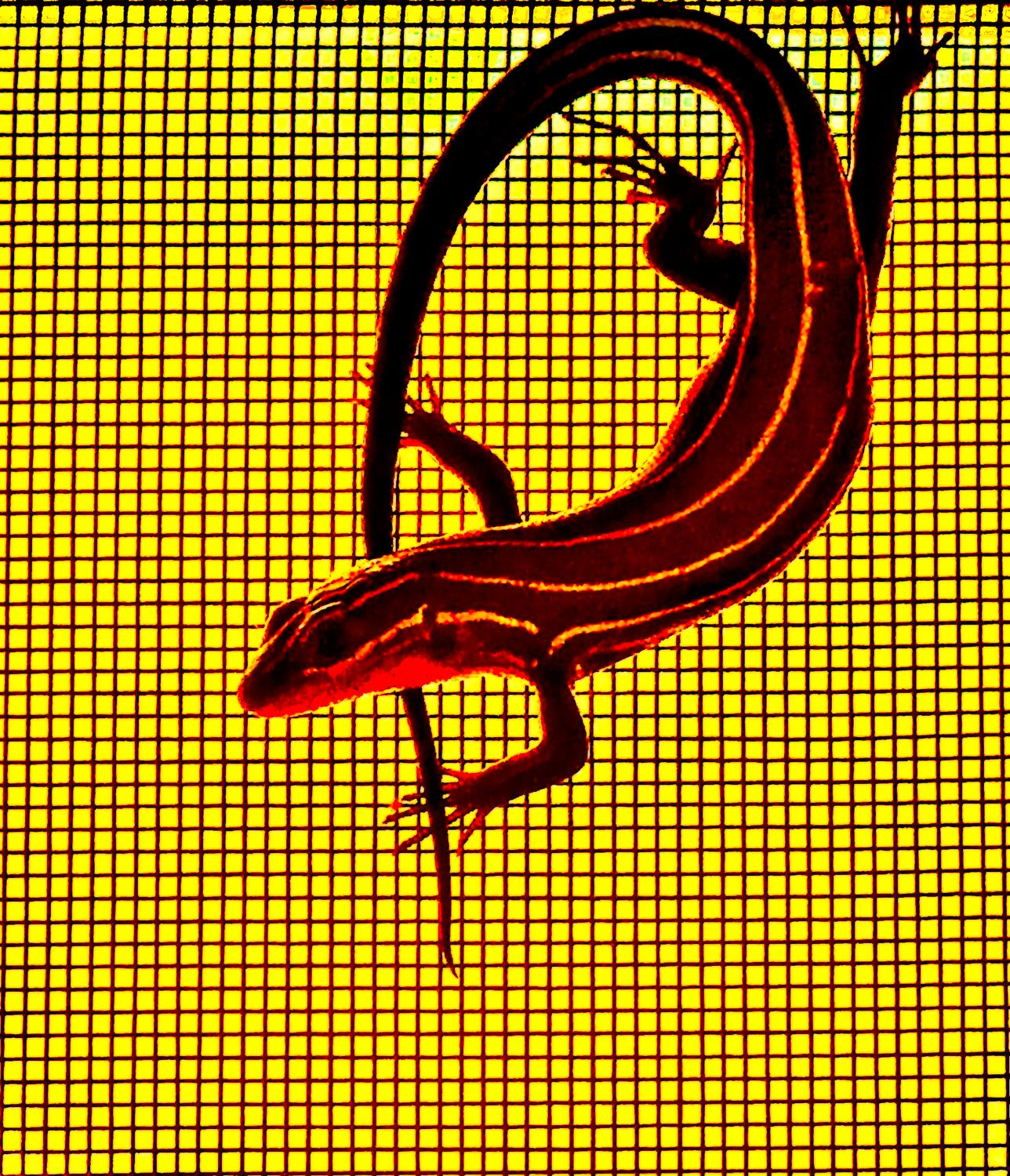 - A red-hot skink, perfect for a summer's day. - Leica C (typ 112) - Panasonic DMC-LF1 - five-lined skink - - - art  - photography - by Tony Karp